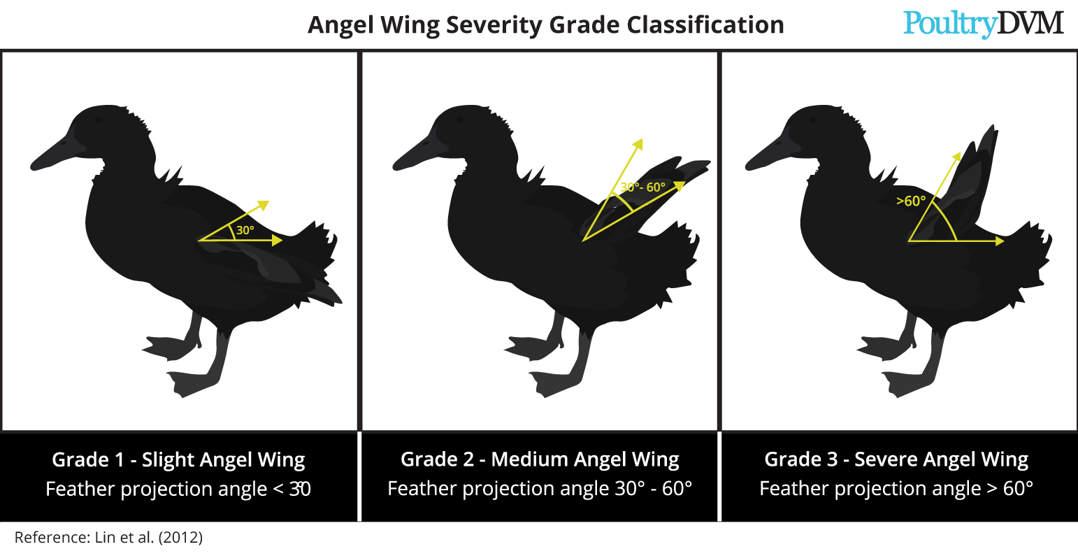 Angel wing severity in ducks