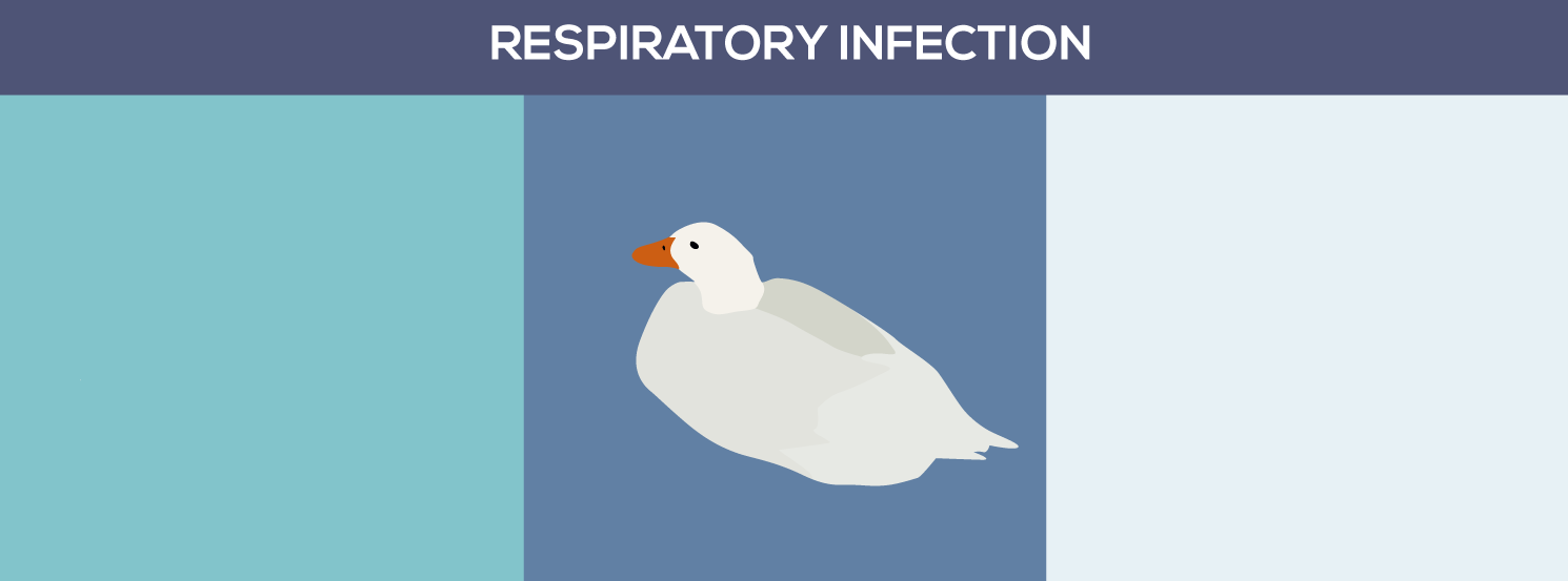 Respiratory infection | DuckDVM Diseases and Conditions A-Z