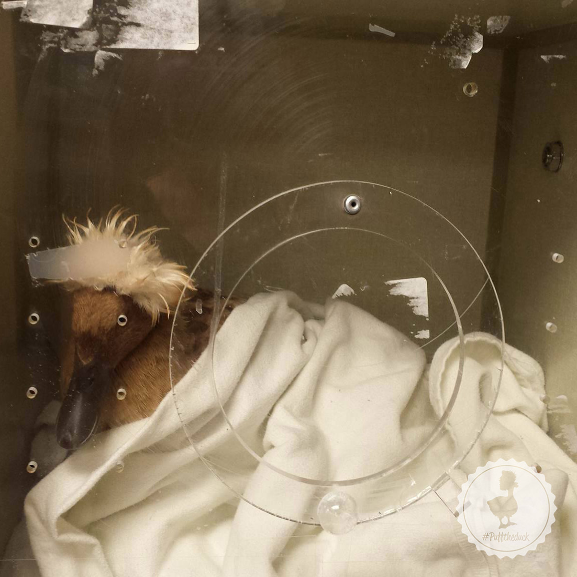 Puff's Recovery in the incubator